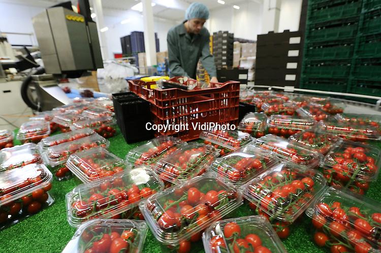 Foto: VidiPhoto<br /> <br /> NAALWIJK - Poolse medewerkers aan het werk in het gloednieuwe bedrijf van Looije Tomaten in Naaldwijk. De Honingtomaat van Looije is vorig jaar uitgeroepen tot de &ldquo;Beste tomaat van Nederland&rsquo; op het gebied van innovatie en duurzaamheid en als de allerlekkerste. De Honingtomaat kreeg ook de publieksprijs. Looije deed zelf marktonderzoek in Britse supermarkten. &quot; Bij Marks &amp; Spencer trof ik zo zes jaar geleden tomaten die uitzonderlijk lekker waren. Ik achterhaalde de zaadleverancier en ben toen verder gegaan met deze Piccolo's.&quot; In Nederland is hij daarmee de enige. De teelt is niet eenvoudig. Looije gebruikt Franse en Italiaanse bemestingsschema's, die niet zijn gericht op opbrengst per vierkante meter, maar op smaak. Looije teelt de tomaten belicht en jaarrond in 25 ha kassen. Looije verkoopt de Honingtomaat alleen aan groentespeciaalzaken en de groothandel.