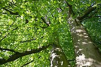 Hainbuche, Hain-Buche, Weißbuche, Weissbuche, Blick in die Baumkrone, Blätterdach, Rinde, Borke, Stamm, Baumstamm, Carpinus betulus, Common Hornbeam, Hornbeam, bark, rind, trunk, stem, Charme commun, Charmille