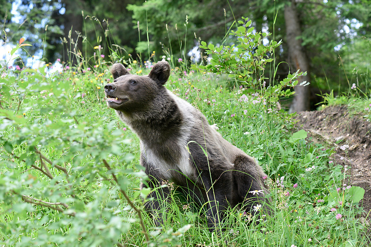 Eurasian Brown Bear - Ursus arctos