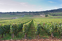 Vineyard. Batard Montrachet. Puligny Montrachet, Cote de Beaune, c d'Or, Burgundy, France