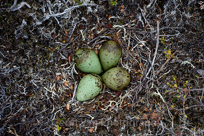 Whimbrel (Numenius phaeopus) nest an eggs on tundra. Yukon Delta National Wildlife Refuge, Alaska. June.