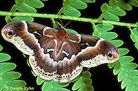 LE41-004b  Moth -Promethea Moth - Callosamia promethea
