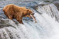 Brown bears fish for red salmon on the falls of Brooks River, Katmai National Park, southwest, Alaska.