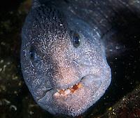 Wolf eel in lair under Tacoma Narrows Bridge, Puget Sound Washington.