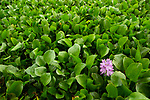Common Water Hyacinth (Eichhornia crassipes), an invasive species, flowering, Diyasaru Park, Colombo, Sri Lanka