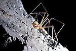 Daddy-long-Legs spider, Pholcus phalangioides, female with egg sack, graphic.United Kingdom....