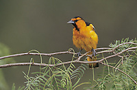 Bullock's Oriole, Icterus bullockii,male, Starr County, Rio Grande Valley, Texas, USA, May 2002