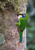 One of my favorite birds in the highlands, the Emerald toucanet.  This one was bringing food to its nest.