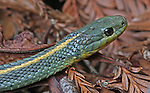 Santa Cruz Aquatic Garter Snake (Thamnophis atratus ssp. atratus). Big Basin Redwoods State Park. Near Boulder Creek, Santa Cruz Co., Calif.