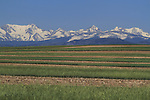 Wheat and Rocky Mountains near Boulder, Colorado, USA.