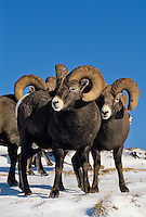Bighorn Sheep Rams (Ovis canadensis).  Northern Rockies.