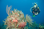 Grand Bahama Island, The Bahamas; a scuba diver swims over a colorful coral head with sea rods, sponges and sea fans
