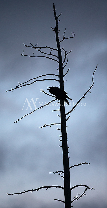A raven caws at dusk.