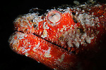 Reptilian Snake Eel, Brachysomophis henshawi, Ambon harbour, Banda Sea, Moluccus, Indonesia, Pacific Ocean