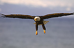 A bald eagle in flight above Alaskan waters.