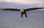 A bald eagle in flight above Alaskan waters.