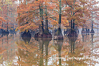 63895-15718 Cypress trees in fall color Horseshoe Lake State State Fish & Wildlife Area Alexander Co. IL