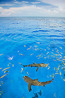 Lemon Sharks, Negaprion brevirostris, West End, Grand Bahama, Atlantic Ocean