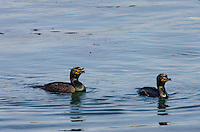 Double-crested Cormorants (Phalacrocorax auritus).  Morro Bay, CA.  Late Winter.