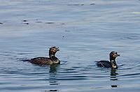 Double-crested Cormorants (Phalacrocorax auritus).  Morro Bay, CA.  Late Winter.