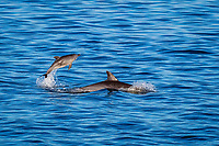 long-beaked common dolphin, Delphinus capensis, calf, jumping, Isla del Carmen, Baja California Sur, Mexico, Pacific Ocean