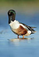 Northern Shoveler (Anas clypeata), male preening, Dinero, Lake Corpus Christi, South Texas, USA
