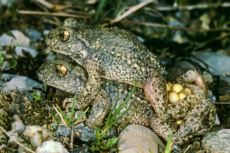 Gewöhnliche Geburtshelferkröte, Nördliche Geburtshelferkröte, Paarung, mit Laich, Eiern, Kröte, Kröten, Alytes obstetricans, common midwife toad, with eggs, spawn, toads