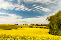 Expansive view of Canola crop, western Idaho.