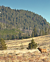 A bull elk checks the arrival of a black Yellowstone wolf onto the scene.