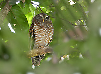 Brown Wood-owl - Strix leptogrammica