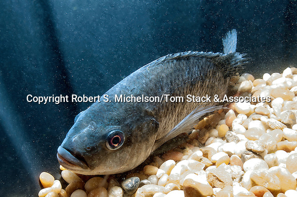 Blue Tilapia adult on bottom of Hydroponics/Aquaculture tank with large gravel bottom facing 45 degrees to camera