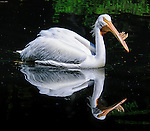 An American white pelican, in breeding season, seen at the Bronx Zoo