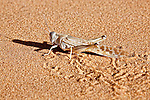 A sideprofil of a locust in desert sand in the Sahara desert of Morocco.