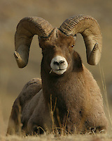 The bighorn sheep (Ovis canadensis) is a species of sheep unique to the Rocky Mountains and is named for the male's (ram) large horns. These horns can weigh up to 30 pounds, while the sheep themselves weigh up to 300 pounds. As horns, they do not shed and a ram's age and health can be determined by their growth rings. The tips of the horns often break off as the rams fight with each other for breeding rights or because the ram has broomed them off by rubbing the tips on hard (usually rock) surfaces for a better peripheral view. Gardiner Canyon, Yellowstone.