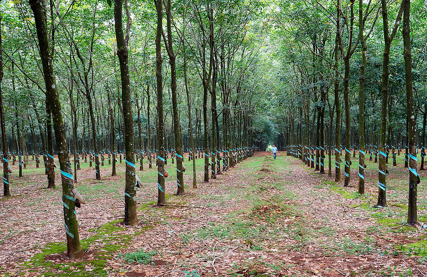 Kilometres and Kilometres of Rubber trees line a long shaded path in a plantation located between Dalat and Ho Chi Minh City. Rubber production has drastically decreased in Vietnam due to declining World wide Market and the Plastic Industry.