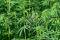 GERMANY, Luebz, field with fibre hemp, without THC Tetrahydrocannabinol, fibres are used for textiles, paper, seeds for oil  / DEUTSCHLAND, Lübz, Feld mit THC freiem Faserhanf