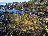 Rocky shore and seaweeds at low tide