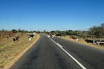 Road With Cattle Crossing It