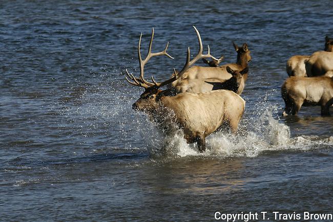 Elk (Cervus elaphus)