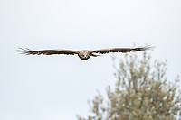 Milvus migrans<br /> <br /> Black kite in flight.