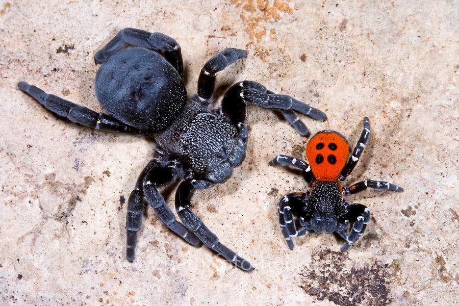 Röhrenspinne, Paar, Pärchen, Männchen und Weibchen, Eresus sandaliatus, Eresus annulatus, ladybird spider, male, female, pair, Röhrenspinnen, Eresidae, ladybird spiders