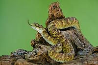 489040005 a captive broadleys bush viper atheris broadleyi sits coiled on a tree limb species is native to africa