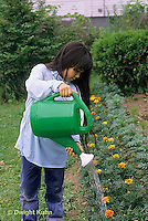 HS18-040z  Child watering marigolds in garden - Tagetes spp.