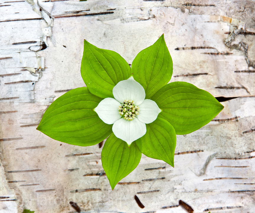A bunchberry plant in Michigan has grown through bark from a maple tree.