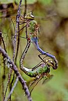 Green Darner Dragonflies, Idaho