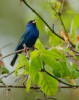 Adult male indigo bunting in breeding plumage singing