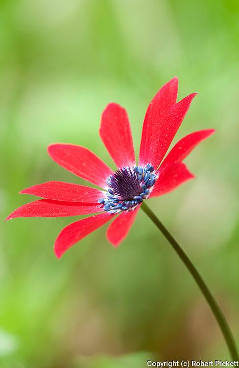 Anemone Flower, Anemone pavonina Lesvos Island Greece , lesbos