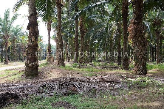 Old palm leaves cut down in the harvesting process are laid down in rows on the ground to decompose, returning nutrients to the soil, while simultaneously controlling weeds. The Sindora Palm Oil Plantation, owned by Kulim, is green certified by the Roundtable on Sustainable Palm Oil (RSPO) for its environmental, economic, and socially sustainable practices. Johor Bahru, Malaysia