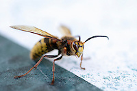 Hornet (vespa crabro) on a table, France