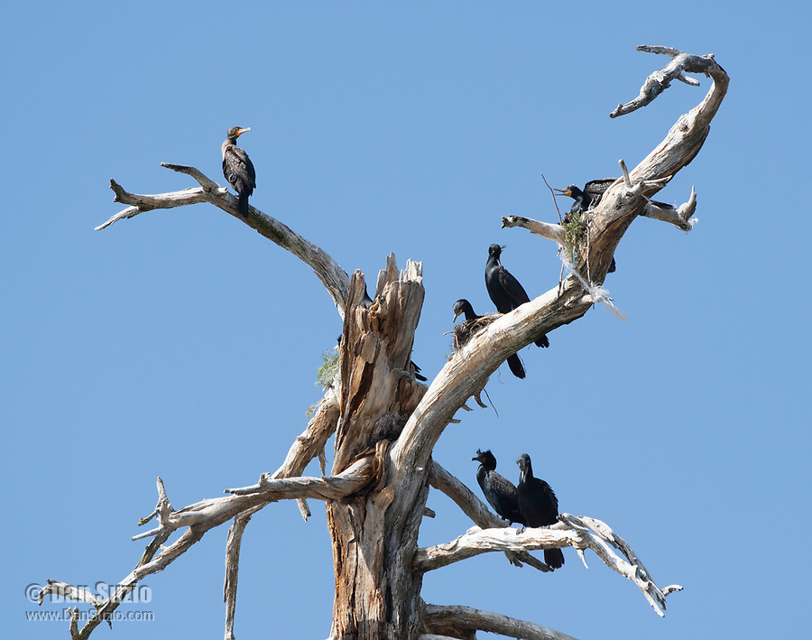 Double-crested Cormorants, Phalacrocorax auritus, perched in a dead tree on the shore of Hyatt Lake, Oregon